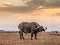 Bison, Kenya